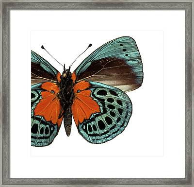 Asterope Leprieuri Framed Print by Natural History Museum, London