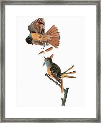 Audubon Flycatcher Framed Print