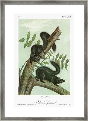 Audubon Squirrel Framed Print