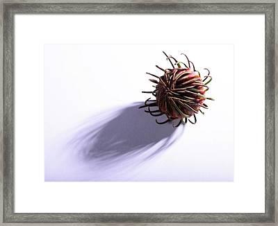 Aulax Cancellata Seed Head Framed Print by Cordelia Molloy