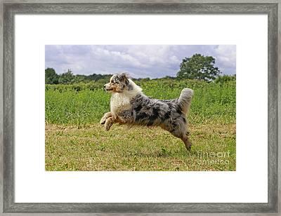 Australian Sheepdog Framed Print by Jean-Michel Labat