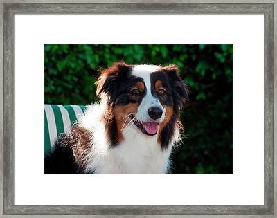 Australian Shepherd Portrait (mr & Pr Framed Print