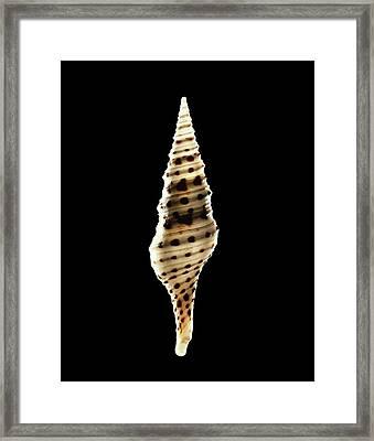 Babylon Turrid Sea Snail Shell Framed Print by Gilles Mermet