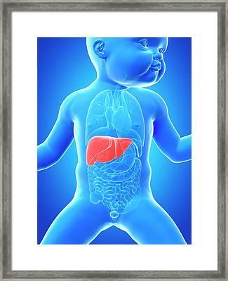 Baby's Liver Framed Print by Sebastian Kaulitzki