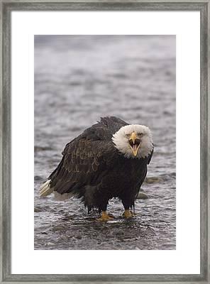 Bald Eagle Calling Alaska Framed Print