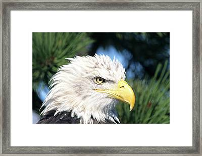 Bald Eagle (haliaeetus Leucocephalus Framed Print by Richard and Susan Day