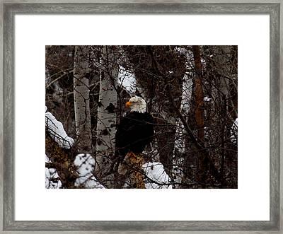 Bald Eagle Framed Print by Omaste Witkowski