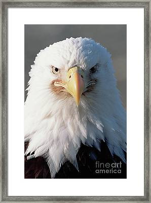 Bald Eagle Portrait Alaska Framed Print by Yva Momatiuk John Eastcott