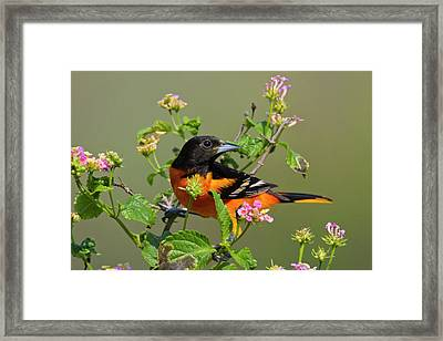 Baltimore Oriole (icterus Galbula Framed Print by Larry Ditto