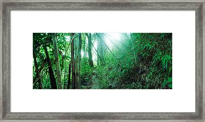 Bamboo Forest, Chiang Mai, Thailand Framed Print