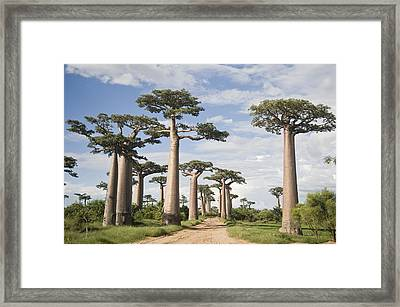 Baobab Trees Adansonia Digitata Framed Print by Panoramic Images