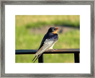 Barn Swallow Framed Print by James Petersen