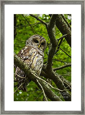 Barred Owl Framed Print by Thomas R Fletcher