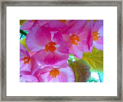 Begonia Debut Framed Print by Cathy Dee Janes