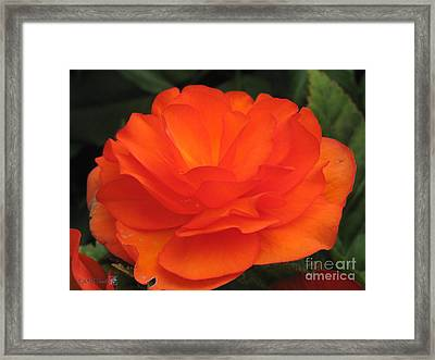 Framed Print featuring the photograph Begonia Named Nonstop Apricot by J McCombie