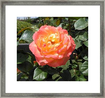 Framed Print featuring the photograph Beijing Rose  by Kay Gilley