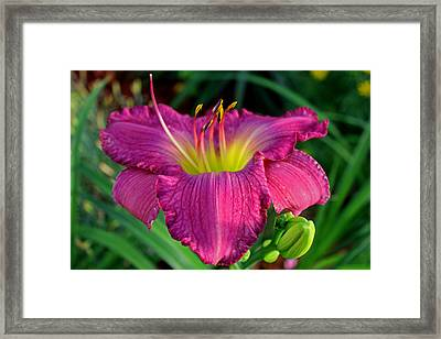 Framed Print featuring the photograph Bela Lugosi Daylily by Suzanne Stout