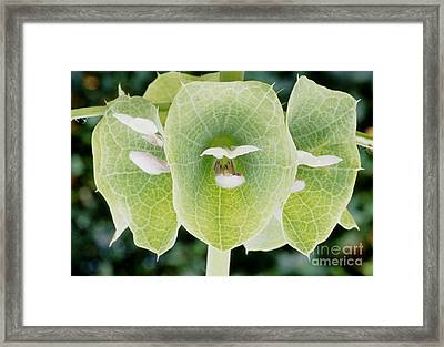 Bells Of Ireland Moluccella Laevis Framed Print by Archie Young