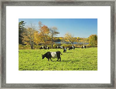 Belted Galloway Cows Grazing On Grass In Rockport Farm Fall Main Framed Print by Keith Webber Jr
