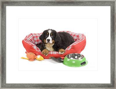 Bernese Mountain Dog Puppy Framed Print