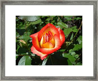 Framed Print featuring the photograph Betty Boop Rose by June Holwell