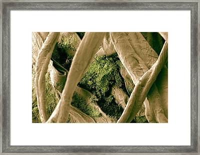 Biofilm On Cotton Swab Framed Print by Ammrf, University Of Sydney