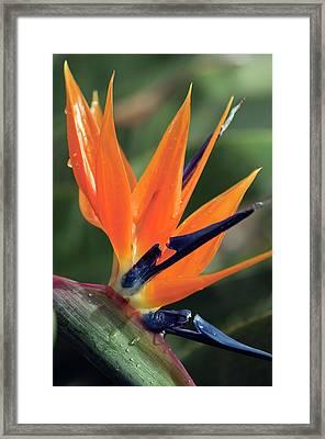 Bird Of Paradise (strelitzia Reginae) Framed Print by Maria Mosolova