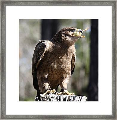Bird Of Prey Framed Print by Paulette Thomas
