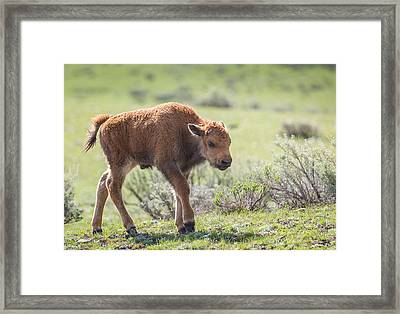 Bison Calf Framed Print
