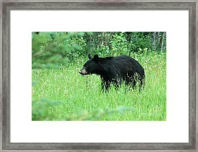 555p Black Bear Framed Print