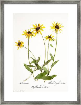 Black-eyed-susan Framed Print