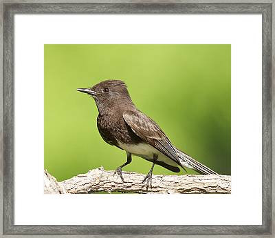 Black Phoebe Framed Print