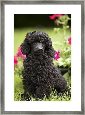 Black Poodle Framed Print by Jean-Michel Labat