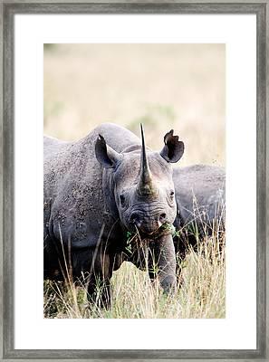Black Rhinoceros Diceros Bicornis Framed Print by Panoramic Images