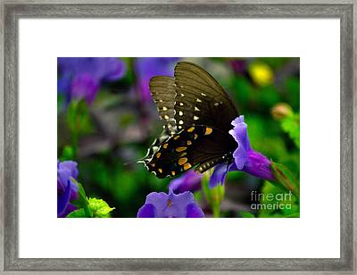 Black Swallowtail Framed Print