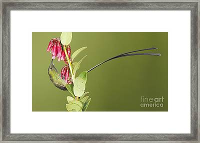 Black-tailed Train Bearer Hummingbird Framed Print