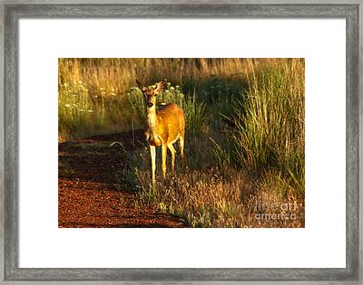 Blacktail  Doe Framed Print by Robert Bales