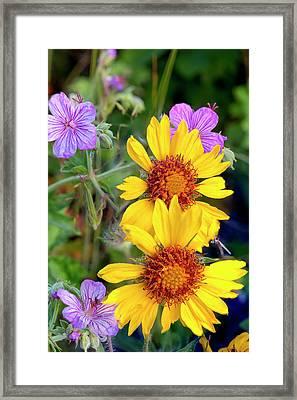 Blanket Flower Aka Brown Eyed Susan Framed Print by Chuck Haney