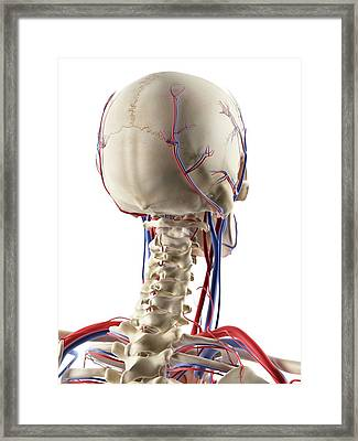 Blood Vessels In The Head Framed Print