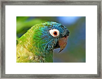 Blue-crowned Parakeet Framed Print by Ira Runyan