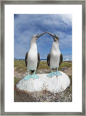 Blue-footed Booby Pair Courting Framed Print by Tui De Roy