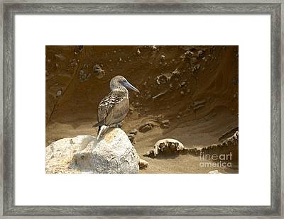 Blue-footed Booby Framed Print by Sami Sarkis