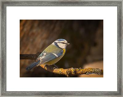 Blue Tit Framed Print by Sylvia  Niklasson