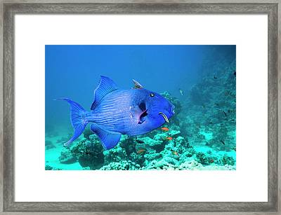 Blue Triggerfish And Cleaner Wrasse Framed Print