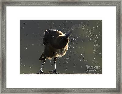 Boat Tailed Grackle Framed Print