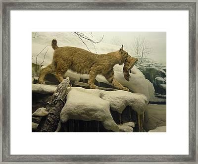 Bobcat Diorama Framed Print