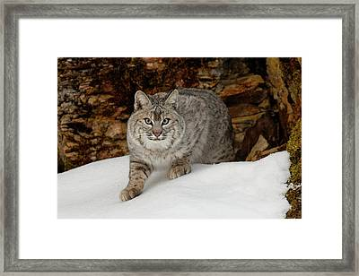 Bobcat In Snow (captive Framed Print