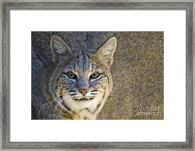 Bobcat Framed Print by William H. Mullins
