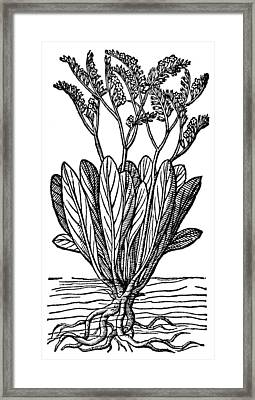 Botany Sea Lavender Framed Print
