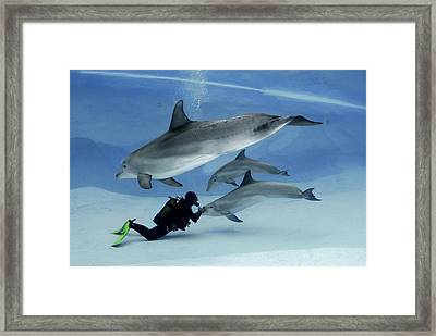 Bottlenose Dolphins In An Aquarium Framed Print by Science Photo Library